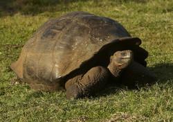 4000_K72_Giant_Tortoise_D05a_Santa_Cruz_784Q5370
