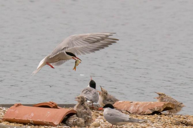 Common Terns at Deeping Lakes