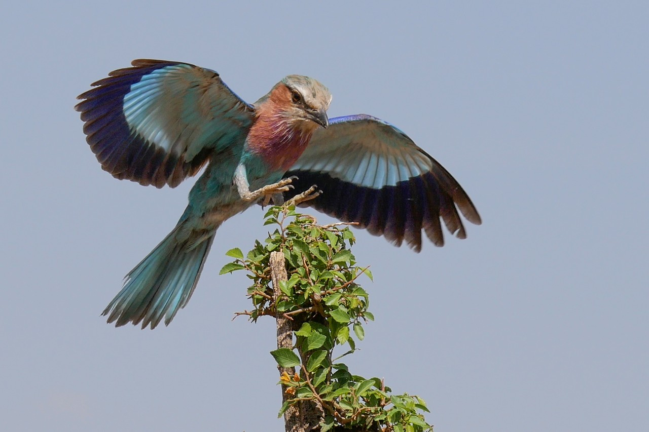 1701_7000_28ky-Lilac-breasted_Roller_P1060612-4_4KP