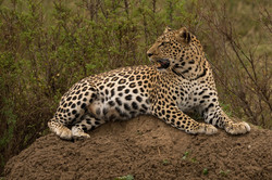 1701_0101_26ky-African_Leopard--1040899