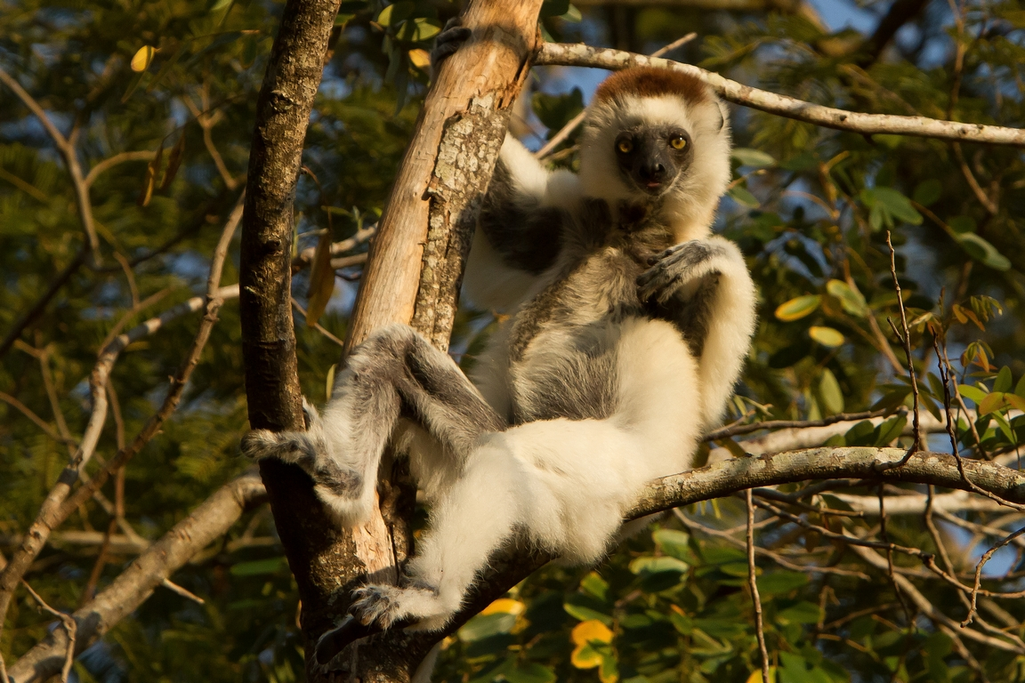 H11_1000_Verreauxs_Sifaka_mg12a-1237