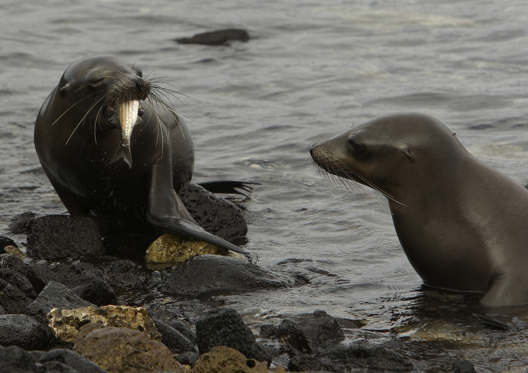 1000_M26_Galapagos_Sealion_D08a_Chinese_Hat_784Q5863