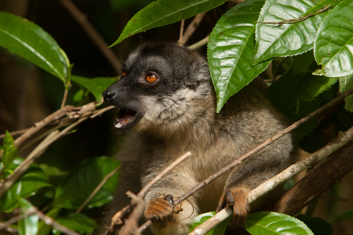 A29_1300_Common_Brown_Lemur_mg12a-5603