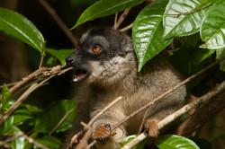 A29_1300_Common_Brown_Lemur_mg12a-5603