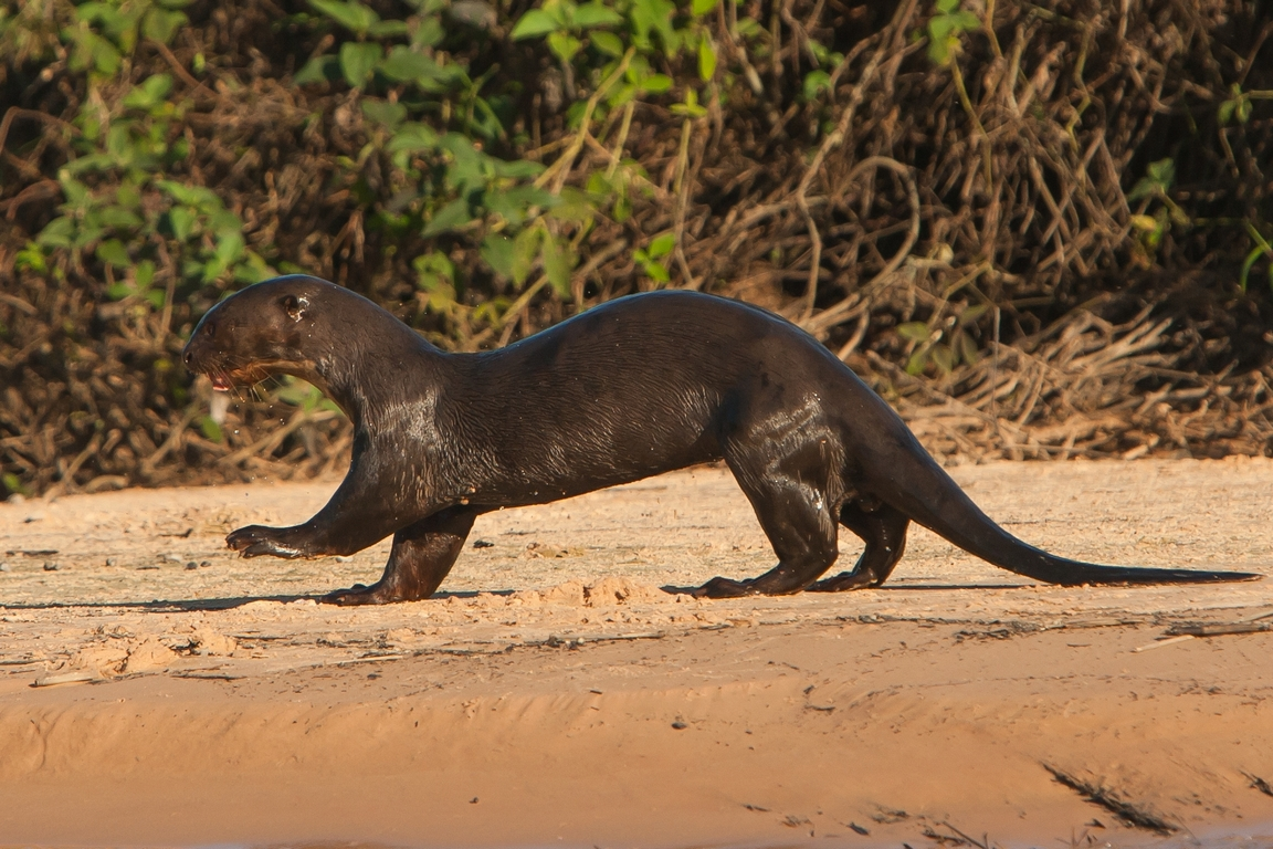 D91_9000_Giant_River_Otter_br12a-0464