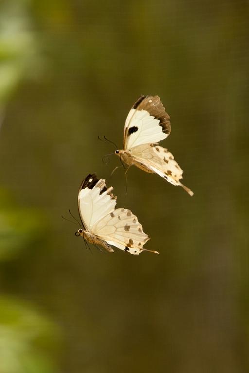 K40_1000_butterfly_mg12a-6353