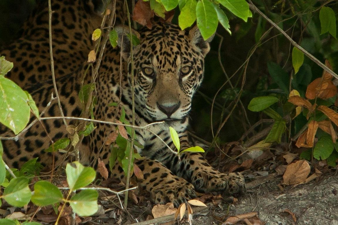 A11_6000_Jaguar_br12a-1577