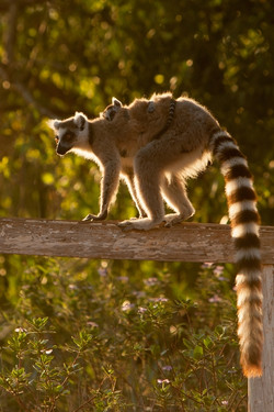 A81_8000_Ring-tailed_Lemur_mg12a-5307