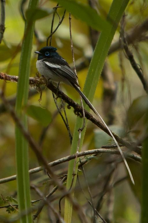 N51_1000_Madagascar_Paradise_Flycatcher_mg12a-5886