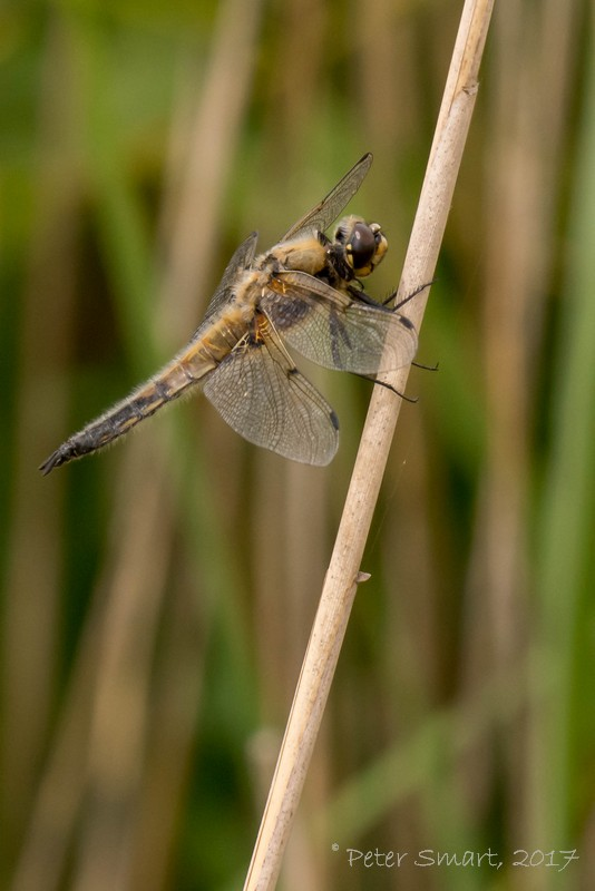 DeepingLakes_170626_2000_Four-spotted_Chaser-1090245