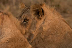 1701_8500_23ky-African_Lion-1020415