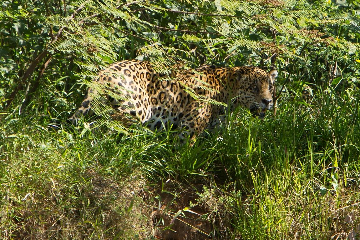 A11_4000_Jaguar_br12a-6314
