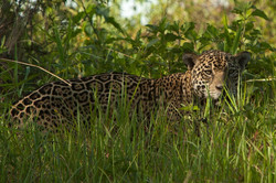A11_1500_Jaguar_br12a-1464-2
