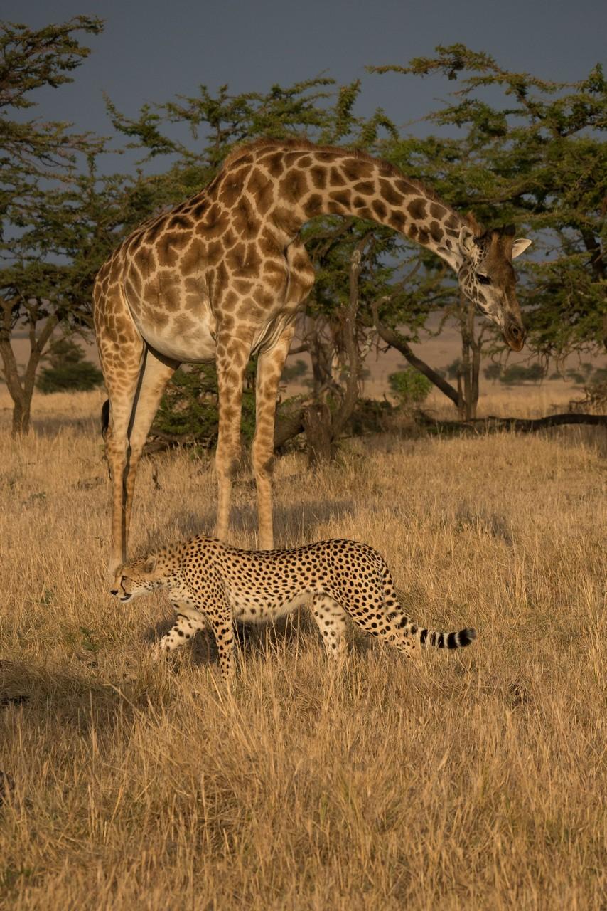 1701_0103_22ky-Cheetah-1020142