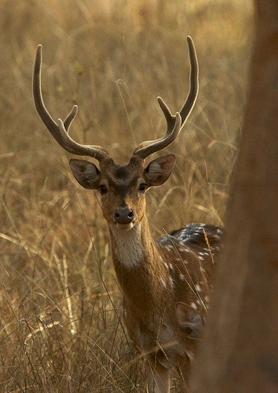F81_1000_Chital_(Spotted_Deer)_in10a_784Q9225