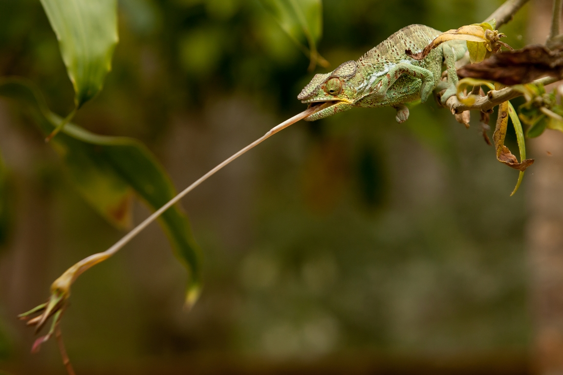K84_1000_Panther_Chameleon_(C)_mg12a-6302