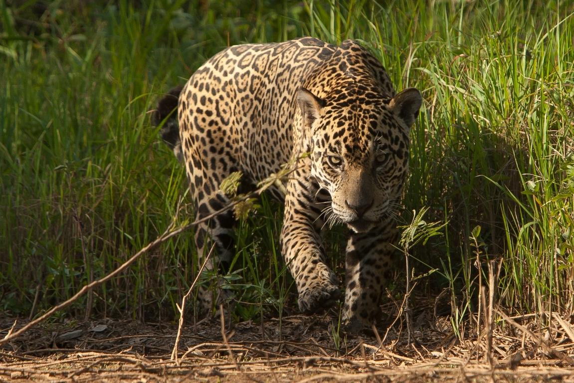 A01_0010_Jaguar_br12a-1480