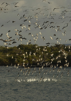 5200_N51_Blue-footed_Booby_D09a_Isabela_784Q6180