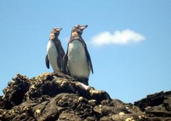 8300_N41_Galapagos_Penguin_IMG_6865