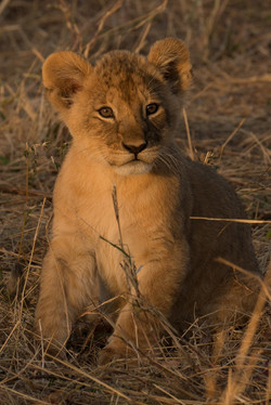 1701_6000_25ky-African_Lion-1030797