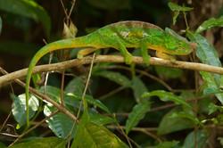 K85_1000_Nose-horned_Chameleon_(C)_mg12a-5572