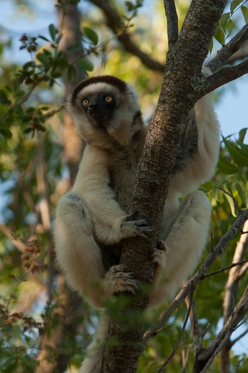 H11_1000_Verreauxs_Sifaka_mg12a-5044