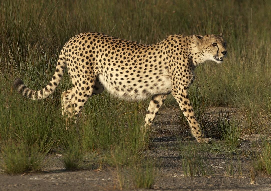 A02_100_Cheetah_tz10a_IMG_3813