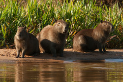 A01_0210_Capybara_br12a-0810
