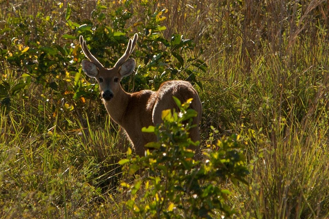 A01_0680_Marsh_Deer_br12a-1757