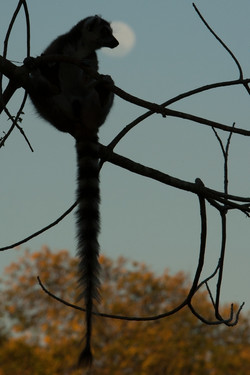 A96_9000_Ring-tailed_Lemur_mg12a-5361