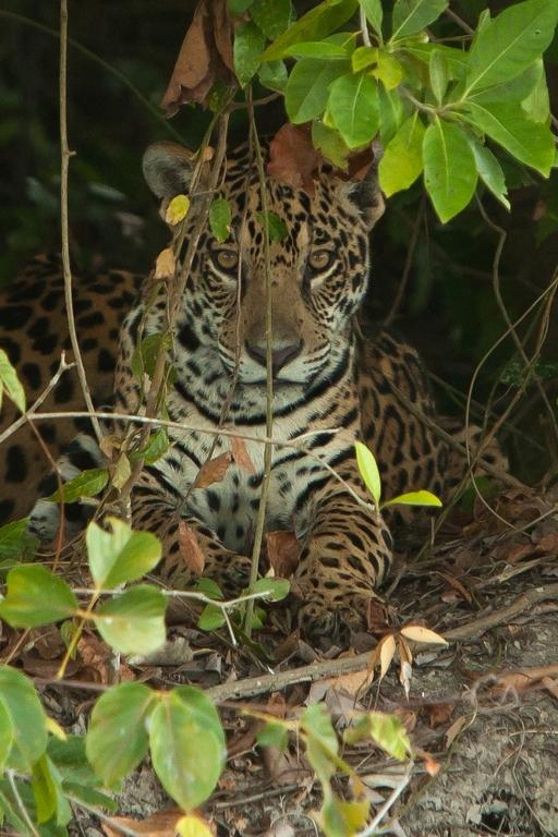 A11_7000_Jaguar_br12a-1607