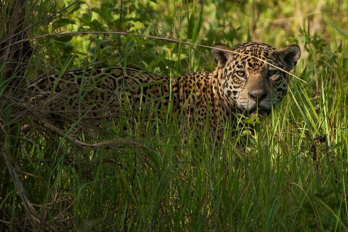 A11_1500_Jaguar_br12a-1437