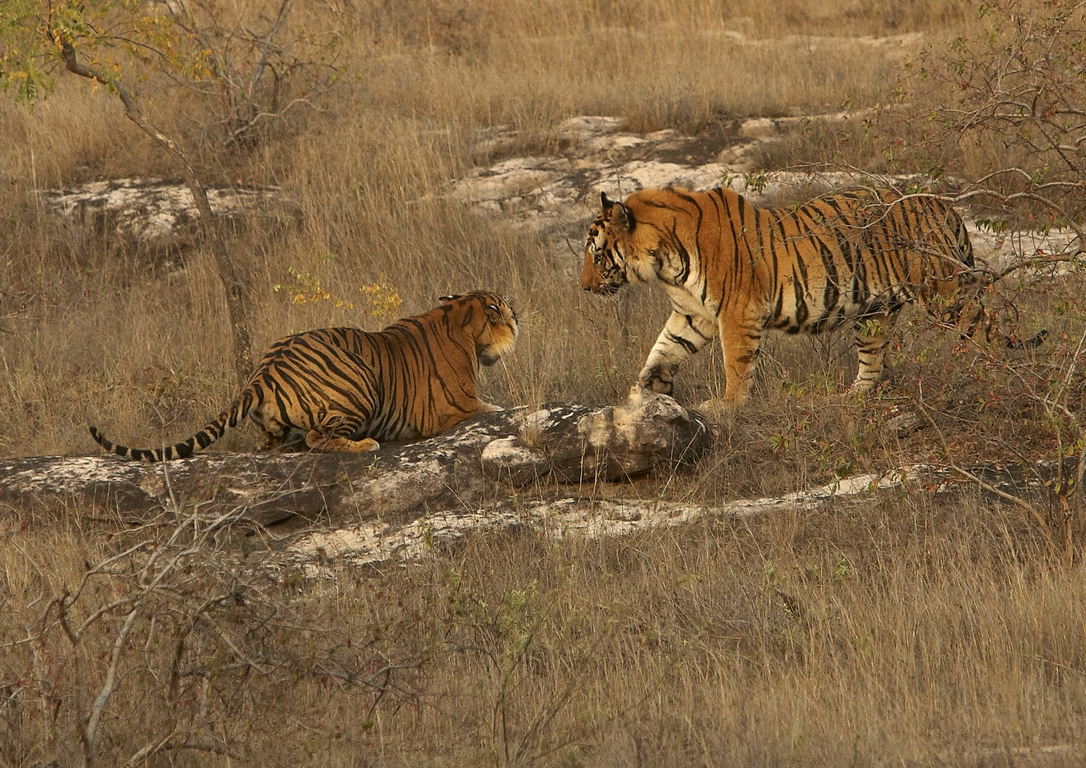A04_1700_Bengal_Tiger_in10a_784Q9474