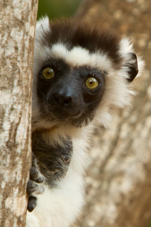H11_2500_Verreauxs_Sifaka_mg12a-1272