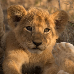1701_2100_24ky-African_Lion-1030642