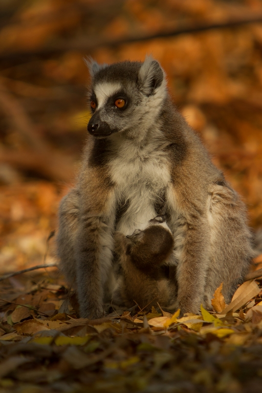 H21_3000_Ring-tailed_Lemur_mg12a-1375