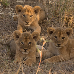 1701_2000_24ky-African_Lion-1030665