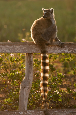 W01_0500_Ring-tailed_Lemur_mg12a-5266