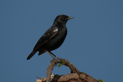 1701_1580_24ky-Sooty_Chat-1030484