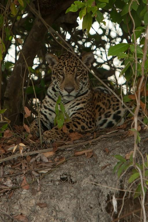 Z00_6000_Jaguar_br12a-1661