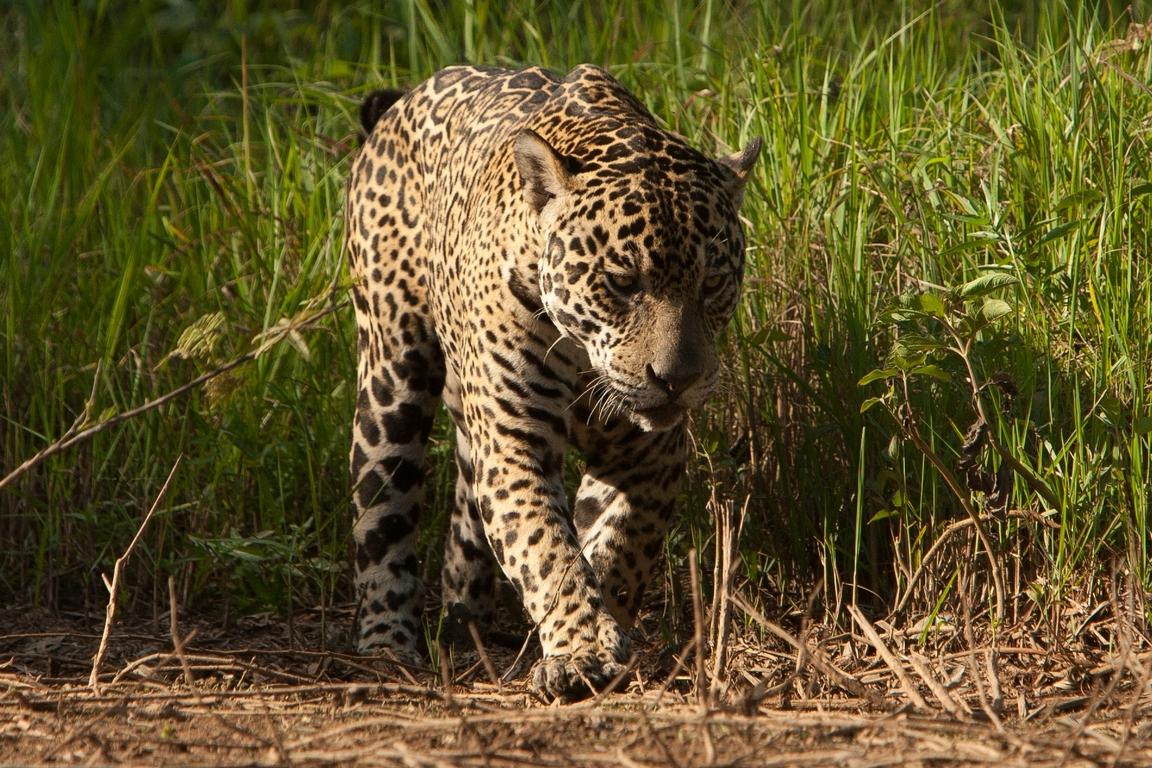 A11_1200_Jaguar_br12a-1484