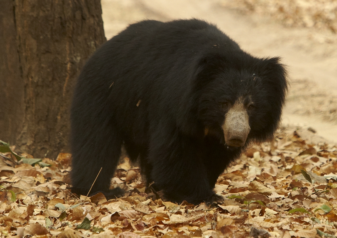 J01_1000_Sloth_Bear_in10a_784Q9667