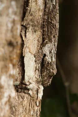 K71_1000_Leaf-tailed_Gecko_mg12a-5756