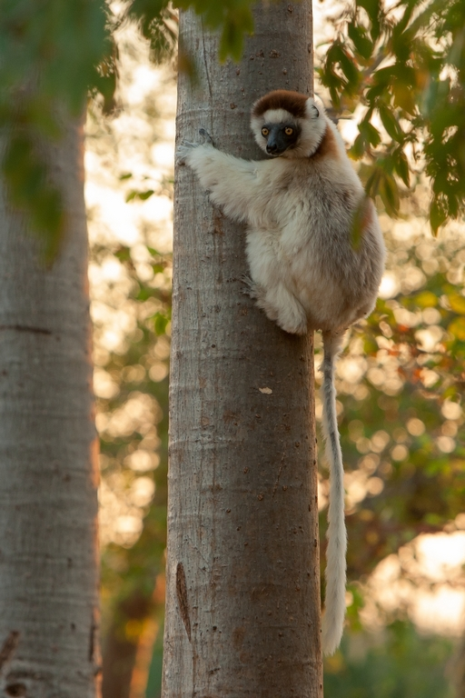 H11_1000_Verreauxs_Sifaka_mg12a-5467