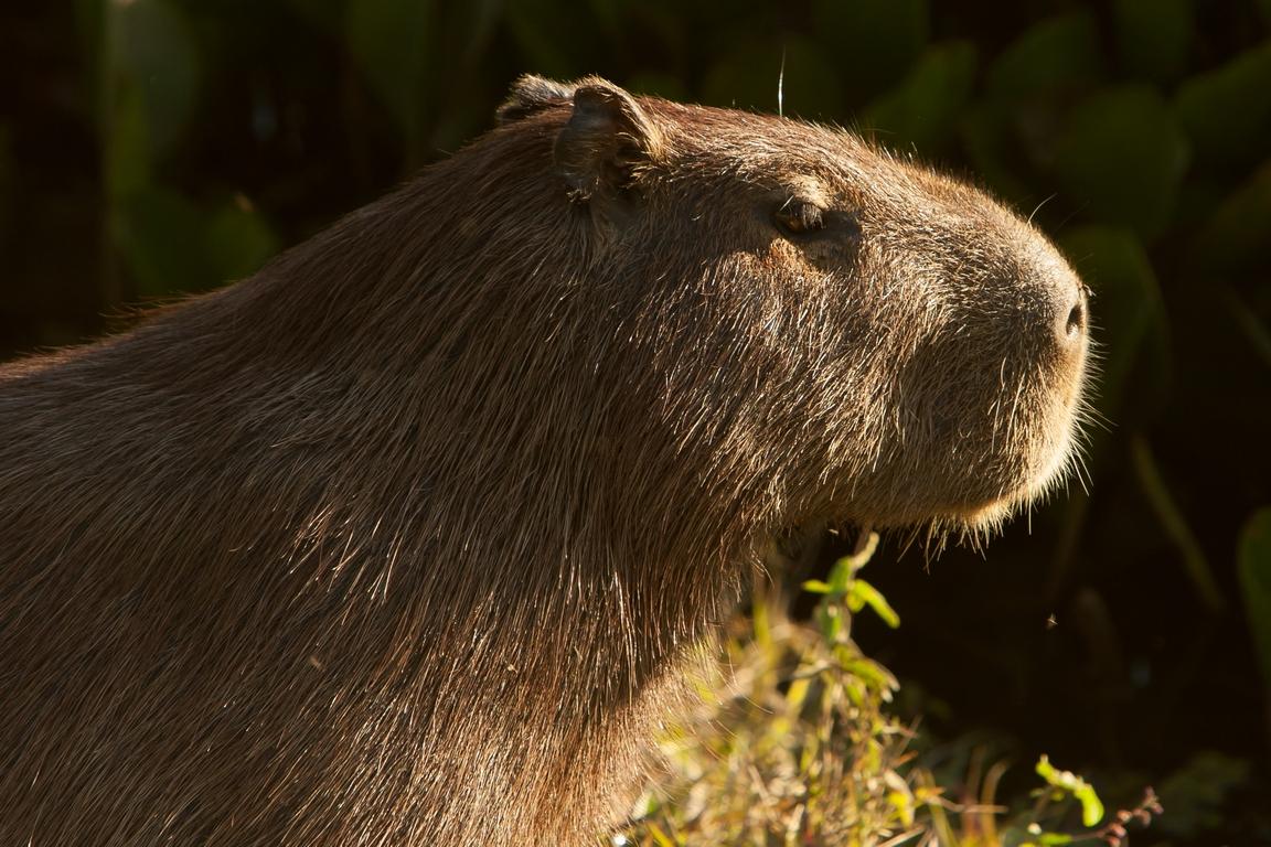 K96_1000_Capybara_br12a-0416