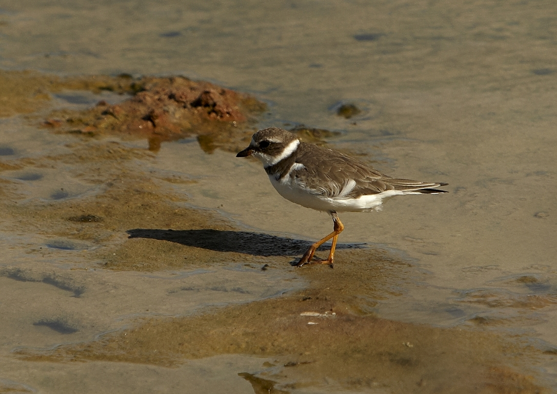 5300_N86_Semi-palmated_Plover_D08c_Santa_Cruz_(Dragon_Hill)_784Q6098