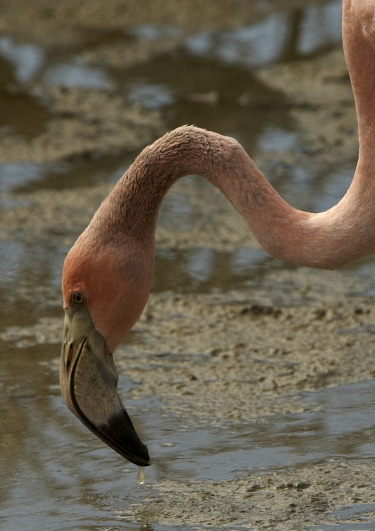 5300_N75_Greater_Flamingo_D09a_Isabela_784Q6221