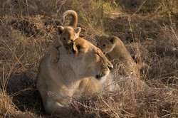 1701_5500_23ky-African_Lion-1020524