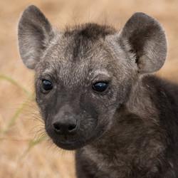 1701_1200_28ky-Spotted_Hyena-1060766