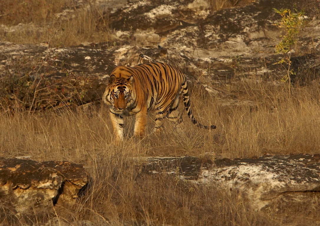 A04_1200_Bengal_Tiger_in10a_784Q9365